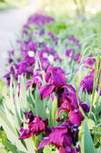 Purple irises undersized — Stock Photo