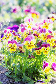 Pansies in the garden — Stock Photo