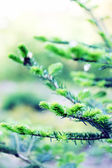 Coniferous, tree — Stock Photo