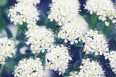Spiraea with white flowers — Stock Photo