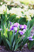 Shrub fragrant purple iris — Stock Photo