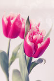Pink tulips terry — Stock Photo