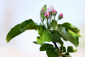 Apple buds — Stock Photo