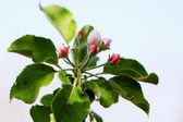 Buds apple tree — Stock Photo