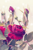 Vintage roses — Stock Photo