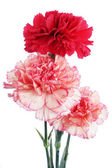 Bouquet of carnations — Stock Photo