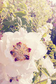 Flower blossomed tree peony — Stock Photo