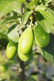 Unripe green plums — Stock Photo