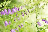 фиолетовый белл — Стоковое фото