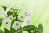 Alyssum Tourn — Stock Photo