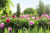 Peony alley — Stock Photo