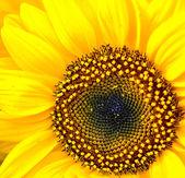 Słonecznik makro — Zdjęcie stockowe