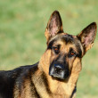 German Shepherd funny portrait — Stock Photo #13880313