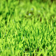 Field of young green wheat grass — Stock Photo