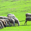 Sheep herd — Stock Photo #13881193