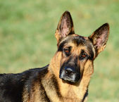German Shepherd funny portrait — Stock Photo