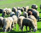Ovinos em pastoreio de natureza — Foto Stock
