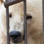 Polar bear behind bars — Stock Photo #14092148