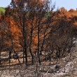 Burned forest - Stock Photo
