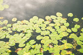 Pond with leaves — Stock Photo