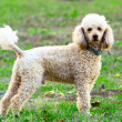 Stock Photo: Poodle portrait