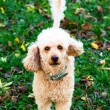 Poodle portrait — Stock Photo #14406933