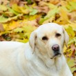 Beautiful Labrador retirever resting in nature — Stock Photo