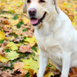Labrador retriever portrait — Stock Photo