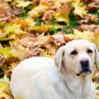 Labrador retriever lying at autumn leaves — Stock Photo