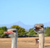 Ostrich couple — Stock Photo