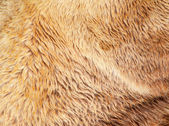 Bear fur texture — Stock Photo
