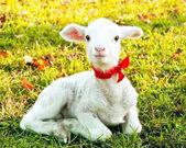Mignon agneau — Photo