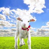 Cute lamb on beautiful greens field at sunny day — Stock Photo