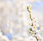 Beautiful plum bracnh with flowers against blured backgroiund — Stock Photo