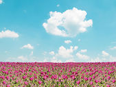 Pink tulip field and blue sky landscape — Foto de Stock