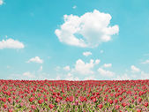 Red tulip field and blue sky landscape — Stock Photo