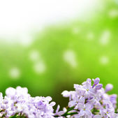 Lilac flowers with green background — Stock Photo