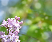 Lilac flowers with bokeh background — Stock Photo