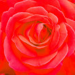 Extreme close-up of rose — Stock Photo