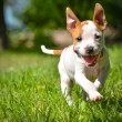 Cute Stafford puppy running on field — Stock Photo