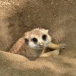 Meerkat peeking from ground — Stock Photo #26786777