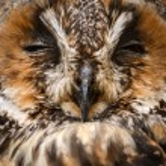 Owl sleeping — Stock Photo