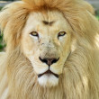 White African lion portrait — Stock Photo