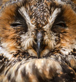 Owl sleeping — Stock Photo