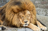 Huge African lion resting — Stock Photo