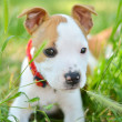 American Staffordshire cute terrier puppy chewing grass — Stock Photo