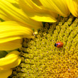 Sunflower and ladybug — Stock Photo