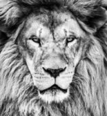 Portrait of beautiful African lion in black and white — Stock Photo