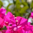 Bougainvillea flower — Stock Photo #30496517