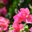 Bougainvillea flower — Stock Photo #30496717
